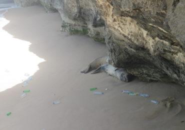 Basura marina en el hábitat de la foca monje en Mauritania