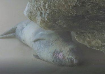 El bostezo de la foca monje