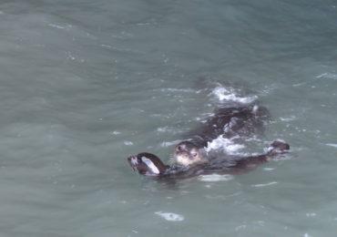 Época de cría foca monje 2018