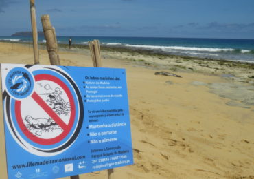 Young monk seal sighting on the island of Porto Santo