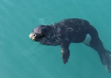 """Pontinhos, one of the few monk seal in the world, lives in Madeira and is still threatened"" – SAPO News"